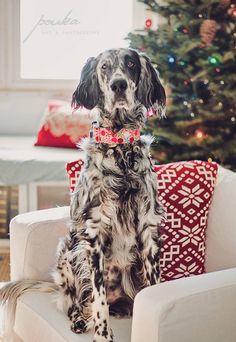 Christmas English Setter. Ryman Setter. Pet photography. Dog portrait. www.pouka.com  Lucky Fiona collar - www.luckyfiona.com