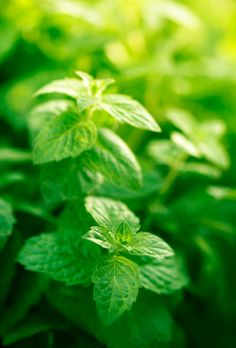 Spearmint is the cooling aid in our #anxietyrelief blend   #aromatherapyhealing #naturalremedy #blog  http://www.labaroma.com/blog/2014/01/dont-stress-have-some-anxiety-relief/
