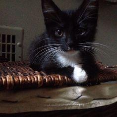 Black and white tux kitty