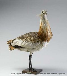 Great bustard - These are some of the heaviest birds capable of flight. They used to live in the British Isles but were eradicated by hunting in the 19th century. Today populations in Europe and Asia have been used to re-introduce them to Salisbury Plain.