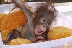 Monti, the Baby Orangutan Monkey See Monkey Do, Ape Monkey, Cute Baby Animals, Animals And Pets, Funny Animals, Wild Animals, Beautiful Creatures, Animals Beautiful, Baby Orangutan