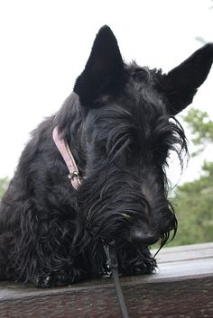 Cute Scottie