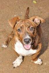 Lilybet aka Breezy is an adoptable Terrier Dog in Alpharetta, GA. Breezy is a sweet girl with lots of personality!!! She loves to cuddle and likes to be carried around like a baby. If she had her choi...