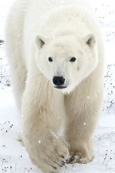 """""""Once there were polar bears...."""" Please help save them, so we never have to say this."""
