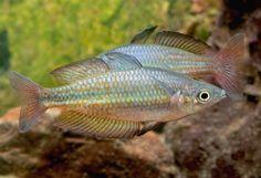 'Melanotaenia cf. eachamensis (Rocky Creek, Malanda) Photo © Günther Schmida http://guntherschmida.com.au/  http://rainbowfish.angfaqld.org.au/Eacham.htm'