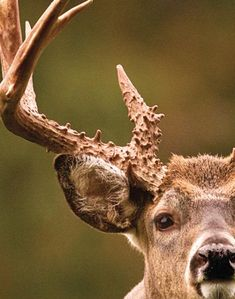 Deer Hunting Tips: How to Read Buck Body Language -- Photo 3 | Outdoor Life
