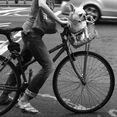 French Bulldog in a Bicycle Basket