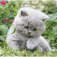 Envie d'un adorable British Shorthair ? Venez par ici : http://www.eleveurs-pedigree.com/fr/chats/org/684/chatterie-du-panier-douillet