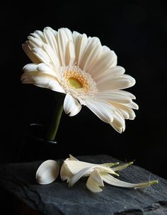 Gerbera Flower, Daisy Flowers, Little Flowers, Wallpaper Backgrounds, Phone Wallpapers, High Quality Images, Find Image, Plants, Display