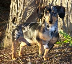 A tweenie silver dapple dachshund.  Tweenie is a term used to describe dachshunds that weigh from 12-15 lbs   they are considered in   between miniature and standard size.
