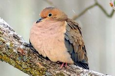 Mourning Dove | Attracting Birds - Birds and Blooms