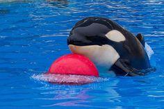 Muere Vicky, una cría de orca del Loro Parque