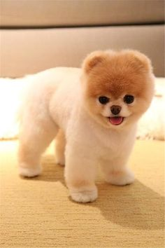 37 Boo the Dog Pics the Cutest and Most Famous Dog in the World - Cute Pomeranian Puppy Cute Baby Dogs, Cute Dogs And Puppies, Baby Puppies, Cockapoo Puppies, Doggies, Puppies Tips, Adorable Puppies, Boo The Cutest Dog, World Cutest Dog