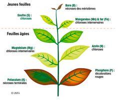  Les plantes ont besoin de nutriments pour leur croissance. Les nutriments peuvent venir à manquer, le plus souvent non pas par leur absence dans le sol, mais par des blocages, en particulier en sol calcaire, dans une terre tassée ou trop humide, ou dans un sol appauvri par les cultures précédentes. Les carences se traduisent souvent par des colorations anormales du feuillage. Pour les prévenir, on nourrit le sol avec du paillis et/ou du compost. L'utilisation de purins d'ortie, de…