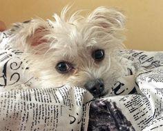 Peanut the Maltese/Chihuahua Mix