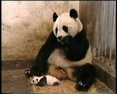 CUTE VIDEO -Baby panda sneezes and startles her mother. Watch her priceless look and reaction after the sneeze.