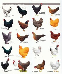 Different Chicken Breeds