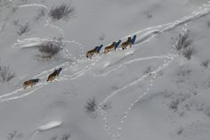 Aerial view of a gray wolf pack in Michigan's Upper Peninsula. Courtesy Michigan DNR.