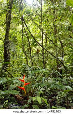 The Amazon Rainforest.  BRAZIL.