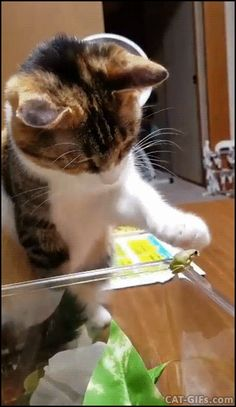 CAT GIF • Cute and shy Cat gently pets a tiny green frog