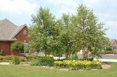birch tree landscape design - Google Search