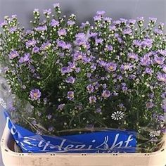 Aster Cassandra, otherwise known as September Flower - 2018 Wedding Trend: Ultra Violet Purple. For lilac and purple wedding flowers to suit your colour scheme, visit our website at www.trianglenursery.co.uk/fresh-flowers!