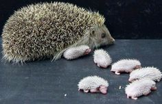 Mom Hedgehog with her sextuplets babies.