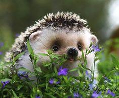 little hedgie
