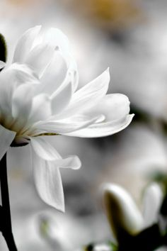 White Magnolia iPhone Wallpaper