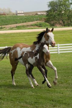Paint horses, mare and foal