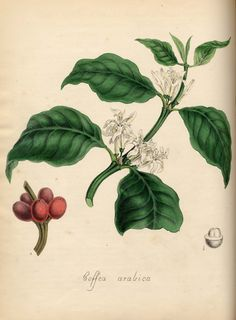 """Coffee arabica,"" Burnett, M. A. Plantae utiliores : or, Illustrations of useful plants, employed in the arts and medicine. 1842: London: Whittaker & Co."