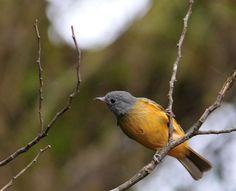 Foto abre-asa-de-cabeça-cinza (Mionectes rufiventris) por Rafael Fortes | Wiki Aves - A Enciclopédia das Aves do Brasil