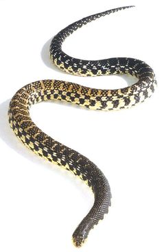 Malagasy Giant Hognose Snake Reptiles And Amphibians, Mammals, Coconut Crab, Land Turtles, Colorful Snakes, Reptile Room, Jumping Spider, Beautiful Snakes, Frog And Toad