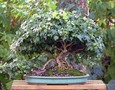 English Ivy ( Hedera helix ) is a very suitable plant for indoor/outdoor bonsai. Description Hedera helix is an evergreen climbing plant, growing to 20–30 m (66–98 ft) high where suitable surfaces (tr