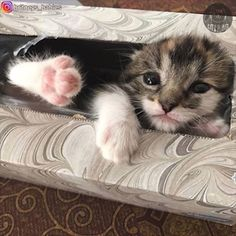A kitten found in a tissue box gives its owner the purr-fect surprise. By: instagram.com/britneys_babies #cats #cattoys #catowners
