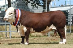 Champion Polled Hereford Bull.