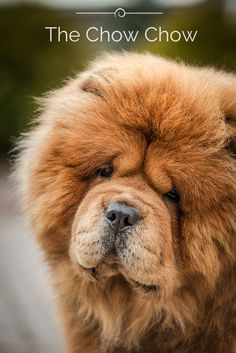 The Chow Chow breed is thought to be 2,000 years old — perhaps even older. It is believed that the Chow is either a descendant of a Spitz ancestor or a progenitor of some Spitz breeds, but the true origin of the dog may never be known. It was, however, common in China for many centuries and may have served as a hunting, pointing, or birding dog for the nobles. Wanna know more about this fascinating breed? Click the photo!