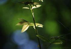 Vadrózsa a Mátrában - erdőalj, fényjáték.  A rose in the #forest #nature #photography #lights #leaves #green