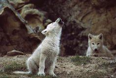 Imagen del aullido del lobo