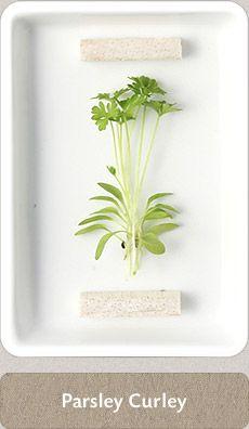 Herbs Micro Herbs, Spices And Herbs, Fresh Herbs, Homemade Seasonings, Herbal Medicine, Home Brewing, Cupboard, Herbalism, Cook
