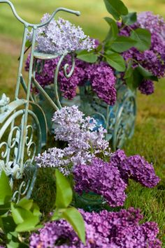 Syringa vulgaris, Common Lilac, in bicycle garden basket ~❥ Need to repaint my garden bike! Love Flowers, Purple Flowers, Beautiful Flowers, Dream Garden, Garden Art, Syringa Vulgaris, Garden Basket, Deco Nature, Calla Lilies