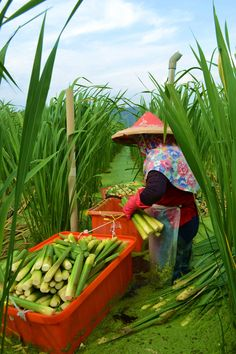 water bamboo shoot harvest, #Taiwan
