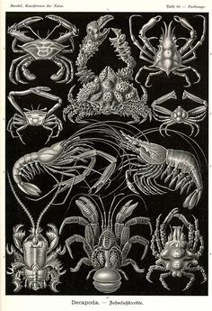Art Forms of Nature - Decapoda (Crustaceans) - Ernst Haeckel Artwork (Art Prints, Wood & Metal Signs