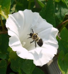 ≗ The Bee's Reverie ≗ Bee leaving ivy-leaved morning glory