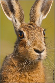 Head of hare by Simon Litten on 500px