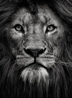 Lion Face Black And White