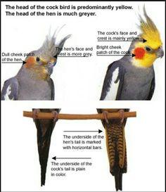 Cockatiel male and female