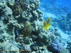 Anemone fish at Poseidon's Garden in the Red Sea Red Sea Diving, Coral Garden, Fish, Animals, Animales, Animaux, Pisces, Animal, Animais