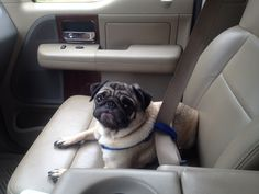 A pug ready to go for a drive in a car!