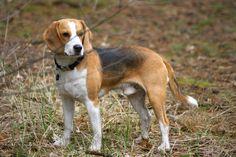 adult beagle